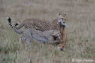 More Cheetah behavior, moving the prey away from where the catch took place.