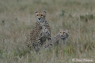 Again dropping the prey in the long grass and making sure that there is no threat from other predators.