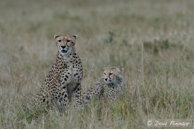 Typical Cheetah behaviour, looking around to make sure that no un-welcome competing predators are around to steal the kill.