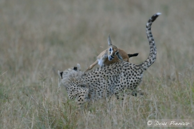 The Cub's inexperience is evident resulting is more of a collision than a kill.