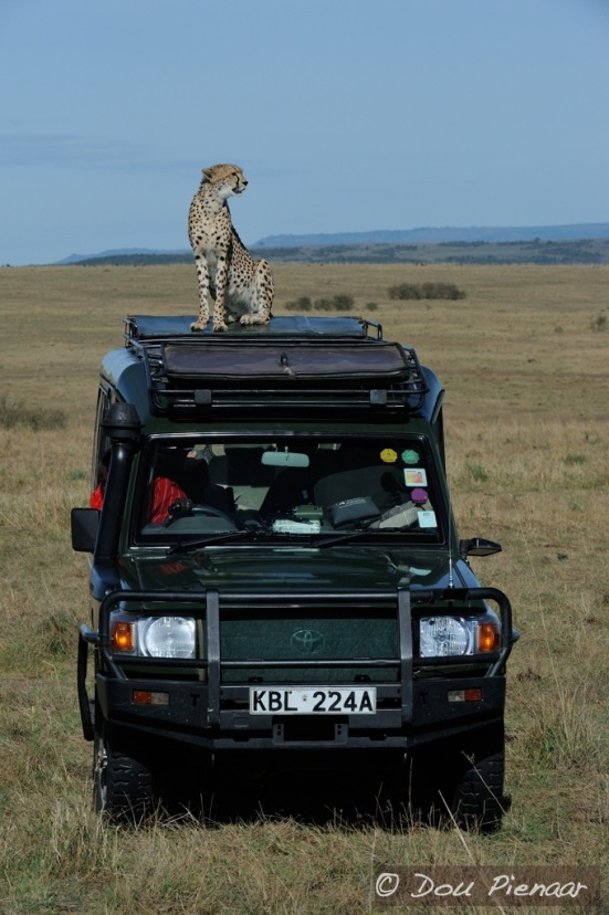Just like in the BBC documentary 'The Big Cat Diary'! On one of our vehicles this time.