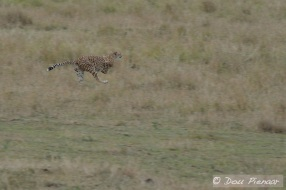 Fastest predator alive!