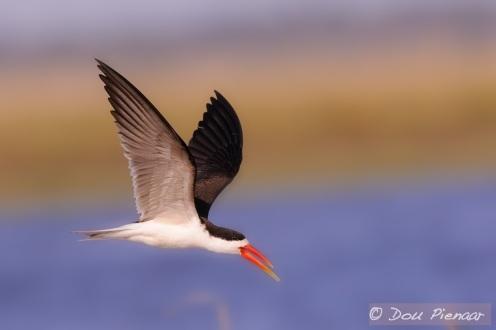 Dipped beak