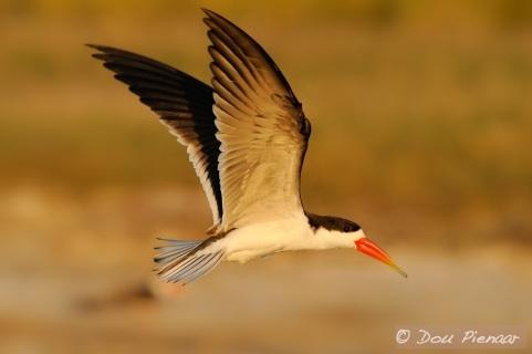 Botswana African Skimmer