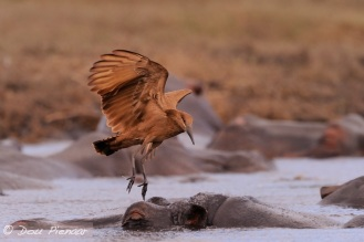 Sleeping Hippo unaware of the Hammerkop that is about to land on the Hipo's head.....