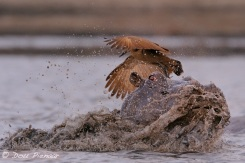 Violent shake of the Hippo's head wirh the anger clear in the eye of the Hipo......