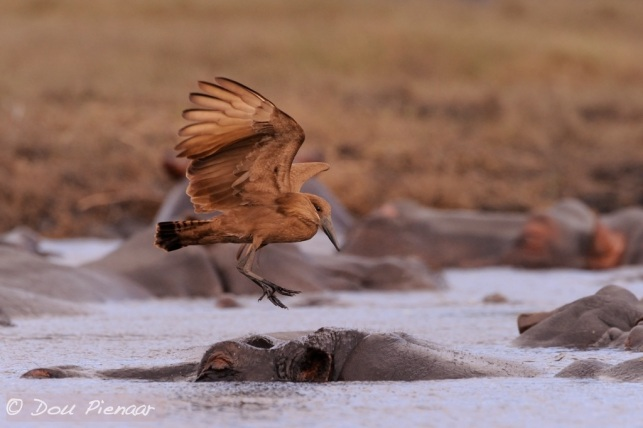 Hammerkop comimng in for the Landing