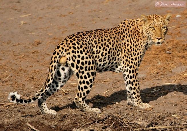 Etosha Male Leopard