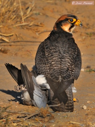 lanner Falcon with frshly caught dove