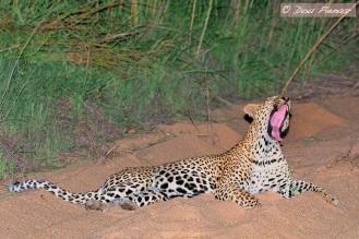 Night shot Leopard