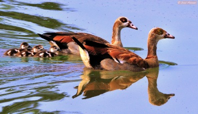 Egyptian Geese family