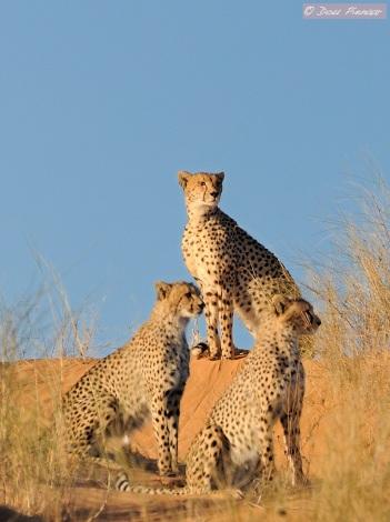 Khalagadi Cheetah Family