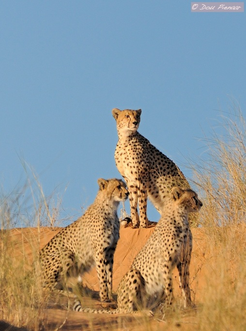 Khalagadi Cheetah Family