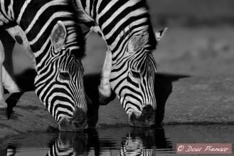 BW Zebra