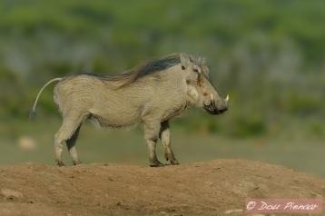 Bush Piggy Portrait
