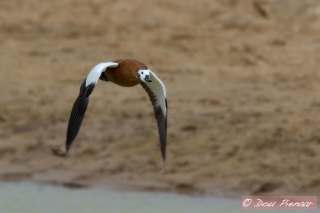 Male African Shelduck takeoff