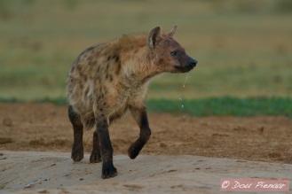 Early morning low light Hyena