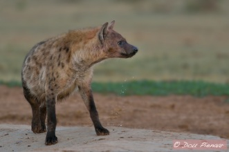 Early morning low light Hyena