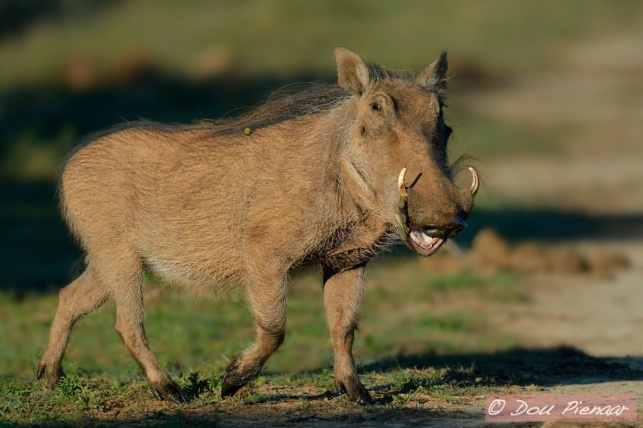 Friendly Warthog