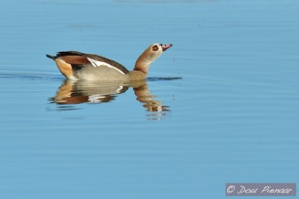 Droplet Egyptian geese