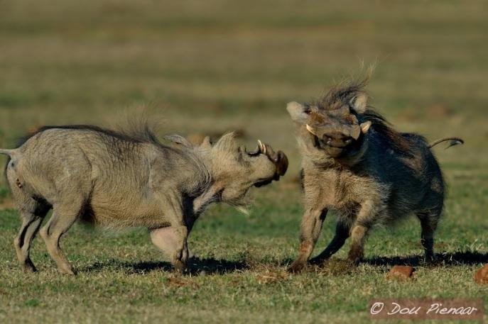 Warthog scrap