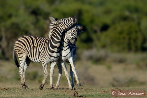 Young Zebra dynamics