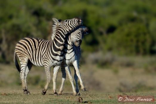 Young Zebra dynamics