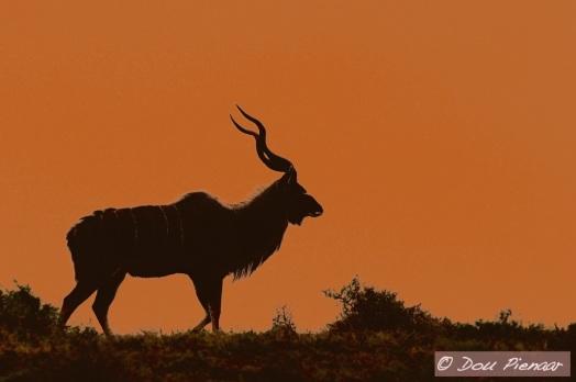 Addo Kudu Silhouette
