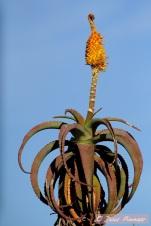 Aloe in Addo