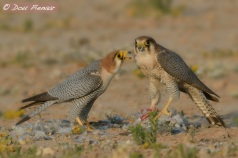 Red-necked Falcon feeding