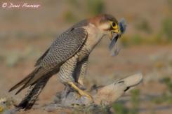 Red-necked Falcon feeding