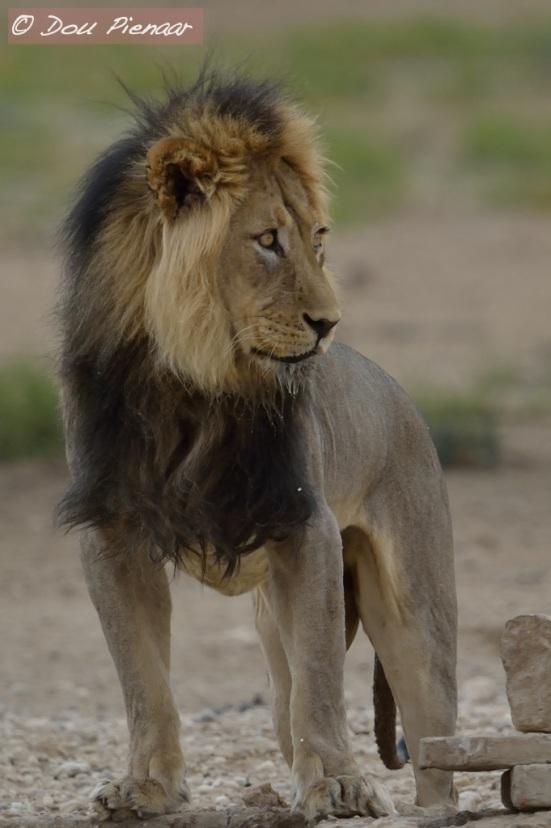 Kalahari King