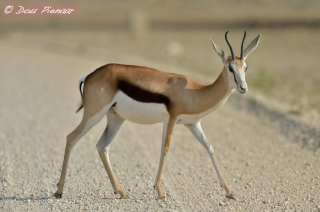 Female Spingbok
