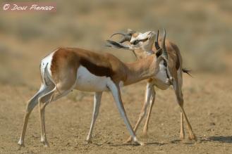 Springbok Males
