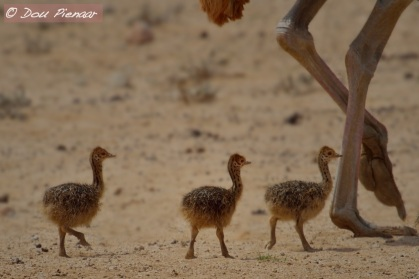 Newly hatched Ostrich chicks