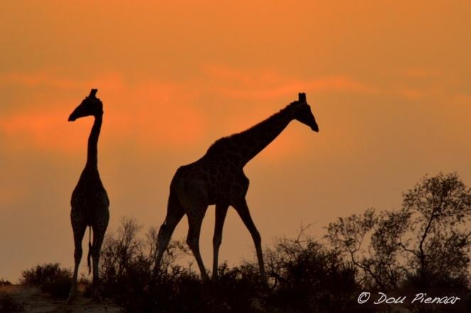 Kahalari sunrise silhoette Giraffe