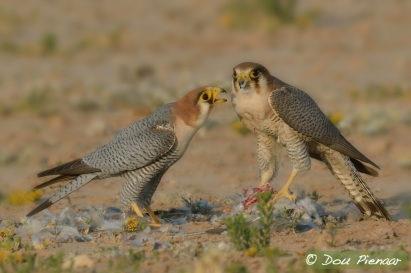 Red-necked Falcons feeding together