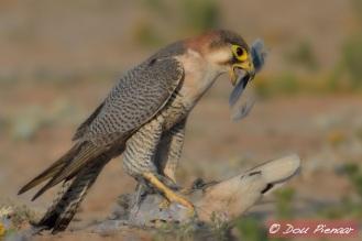 Red-necked Falcon with fresh dove kill