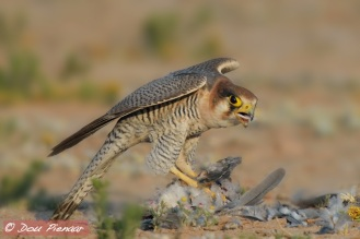 Red-necked Falcon devouring freshly killed Dove