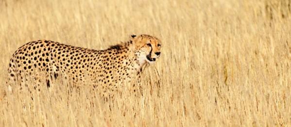 Kgalagadi Cheetah Mother