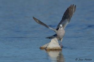 Cape Turtle Dove flight