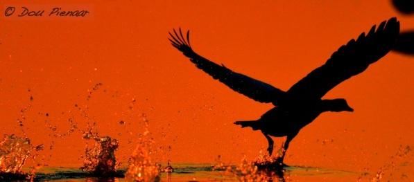 Shelduck sunrise takeoff