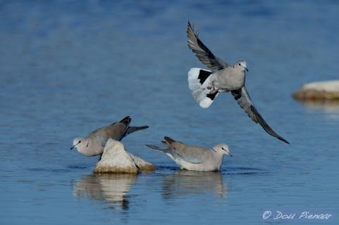 Cape Turtle Dove takeoff 1