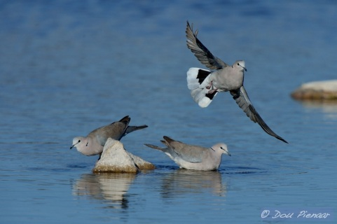 Cape Turtle Dove takeoff 1