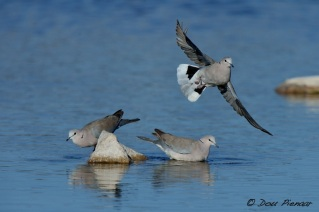 Take off Cape Turtle Dove
