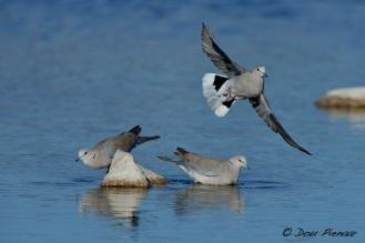Take off Cape Turtle Dove