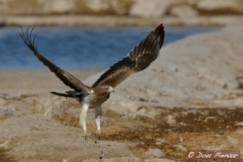 Booted Eagle Takeoff