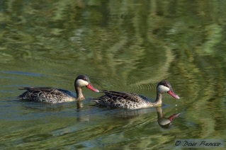 Red Billed Teal