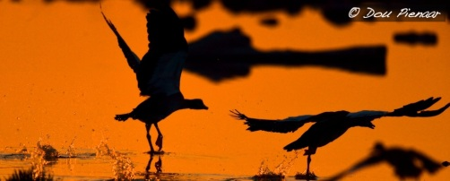 Sunsire Shelduck silhouette