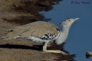 Kori Bustard at the Water edge